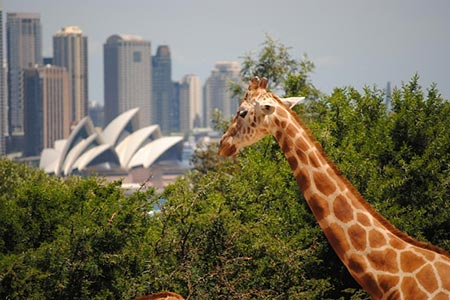 sydney attractions - taronga zoo